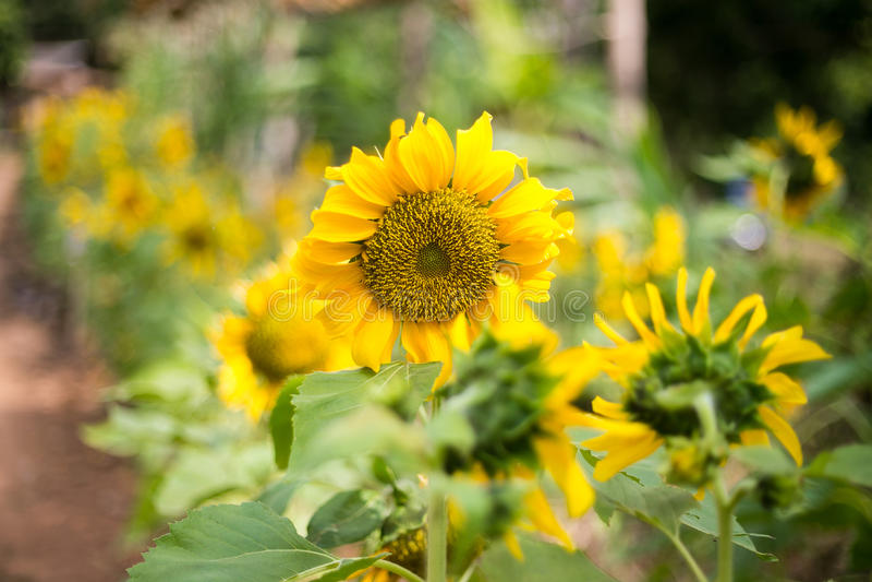 Ljus solros av naturen royaltyfri foto