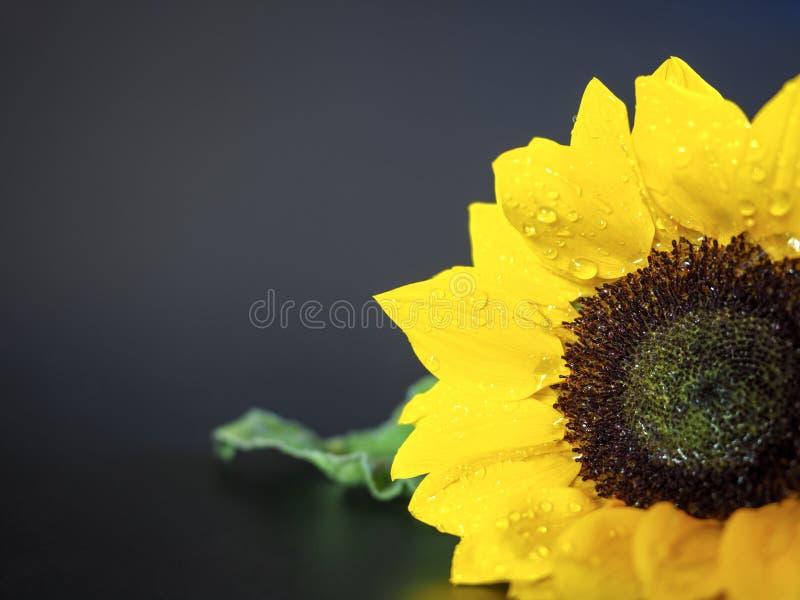 ljus solrosyellow arkivfoto