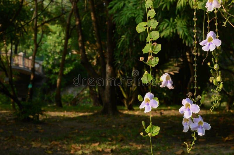 Ljus stråle för morgon på grandiflora Thunbergia, härlig purpurfärgad blomma med grön bakgrund för sidor arkivbild
