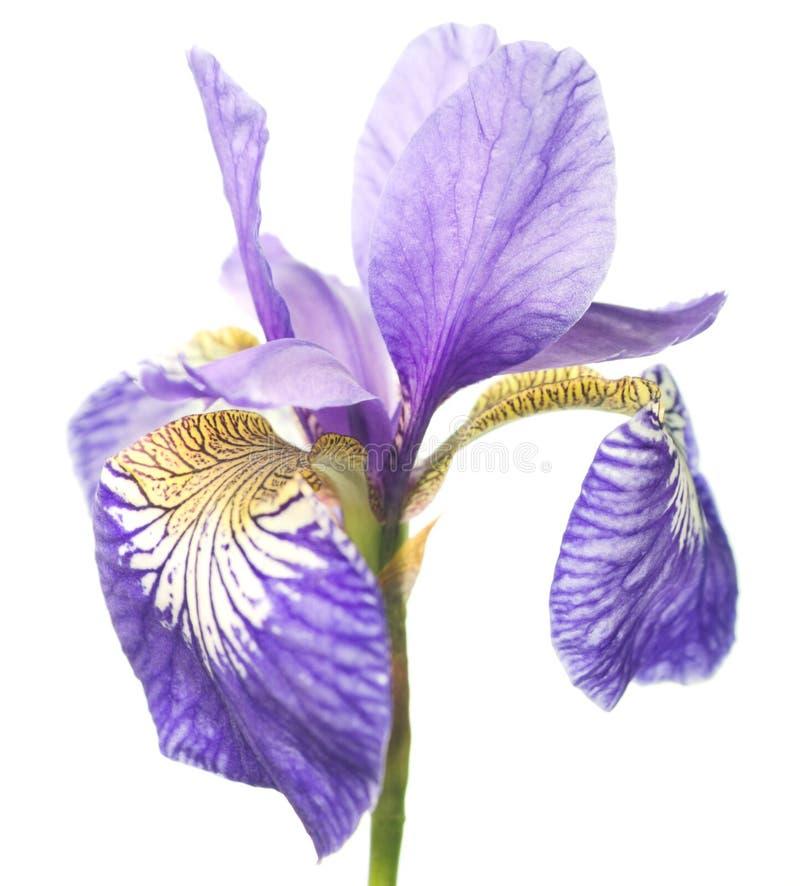 Ljus violett-guling iris royaltyfria foton