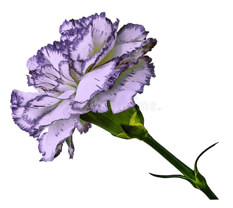 Ljus - violett nejlika Blomma på t en vit isolerad bakgrund med den snabba banan Närbild Inget skuggar Skjutit av röd-vit c arkivbild