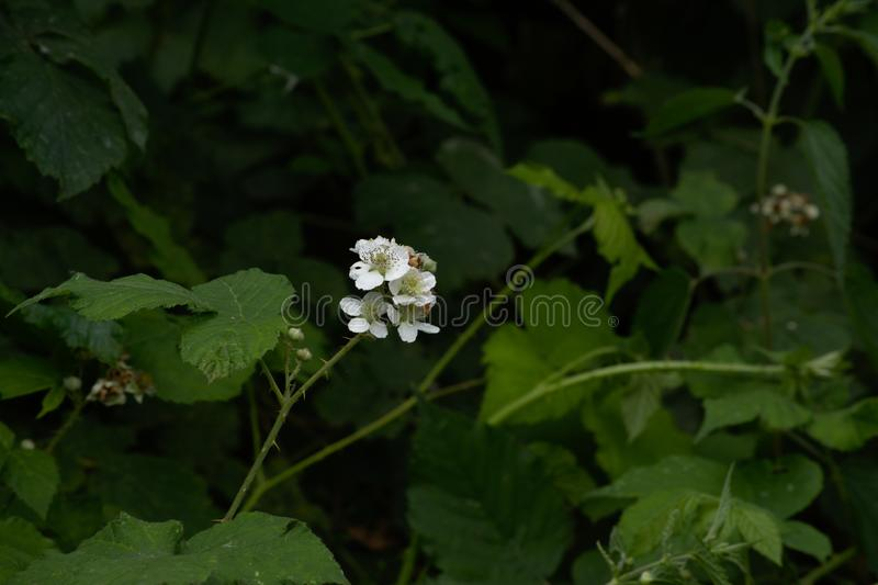 Ljus vit Blackberry blomma, Rubusfruticosus royaltyfri fotografi