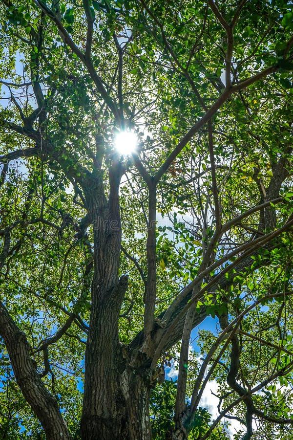 Ljusa bönahoträd i en morgon royaltyfria bilder