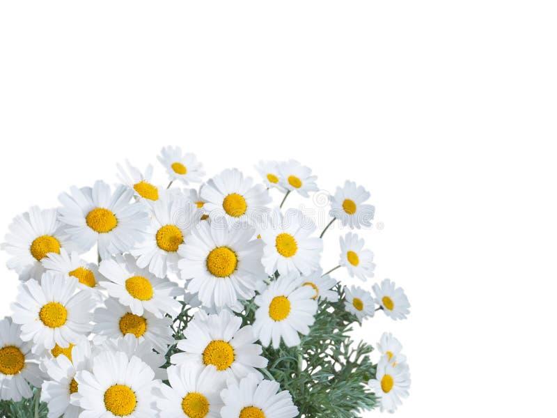 Ljusa blommor för tusensköna som isoleras på vit royaltyfria bilder