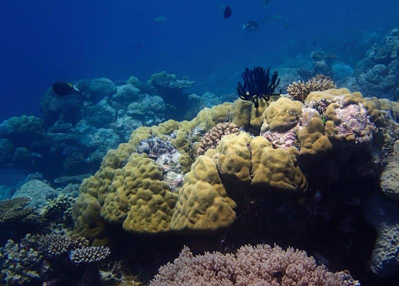 Ljusa Coral Reef med den svarta Crinoid fjäderstjärnan och blå bakgrund arkivbilder