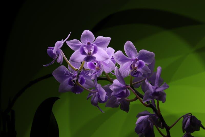 Ljusa diagram Vit-violett phalaenopsisorkidé på gröna bakgrundsljus arkivbilder