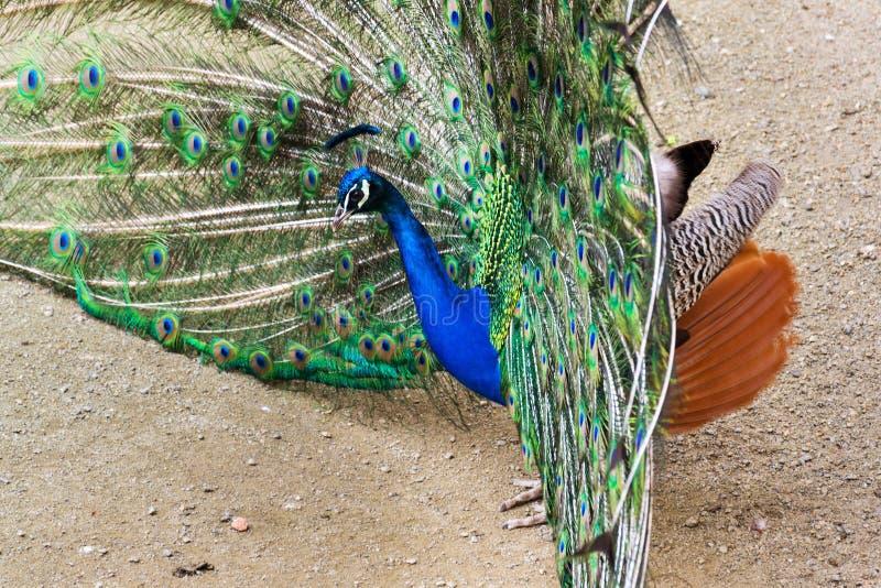 Ljusa färgrika fjädrar för härlig visning för indierblåttpåfågel manlig royaltyfria foton
