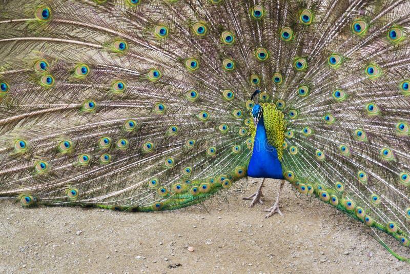 Ljusa färgrika fjädrar för härlig visning för indierblåttpåfågel manlig royaltyfri foto