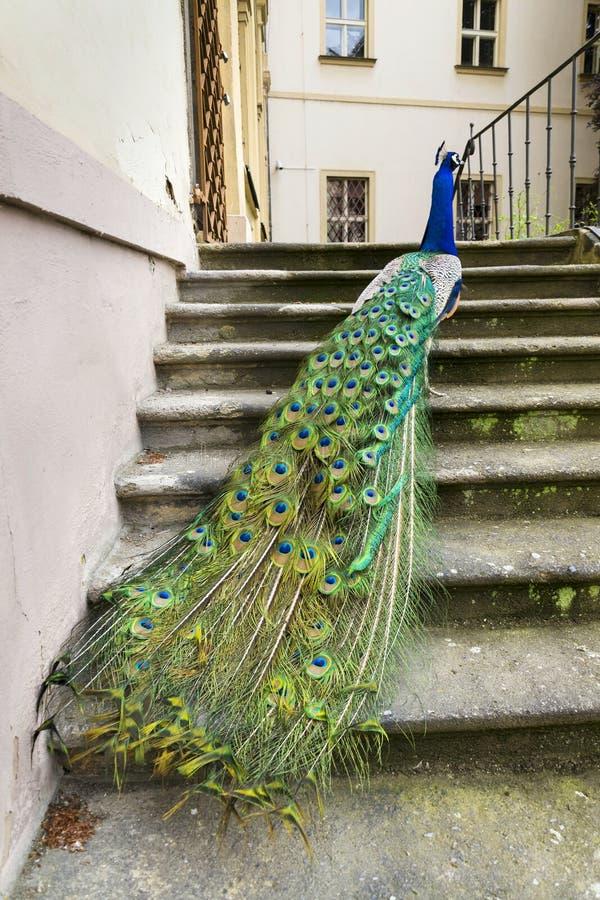Ljusa färgrika fjädrar för härlig visning för indierblåttpåfågel manlig arkivfoto