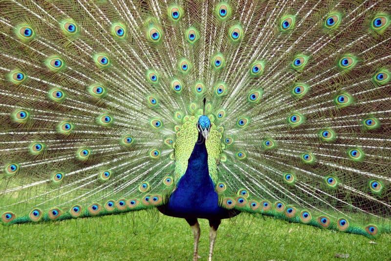 ljusa fjädrar dess påfågeluppvisning arkivbilder
