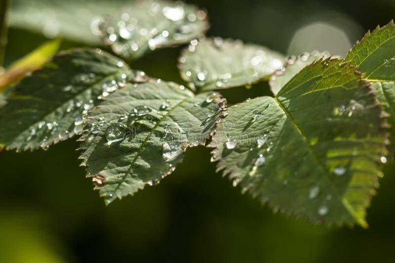 Ljusa genomskinliga regndroppar på ett ungt blad av en trädgård steg beautifully sken i solsken arkivbilder