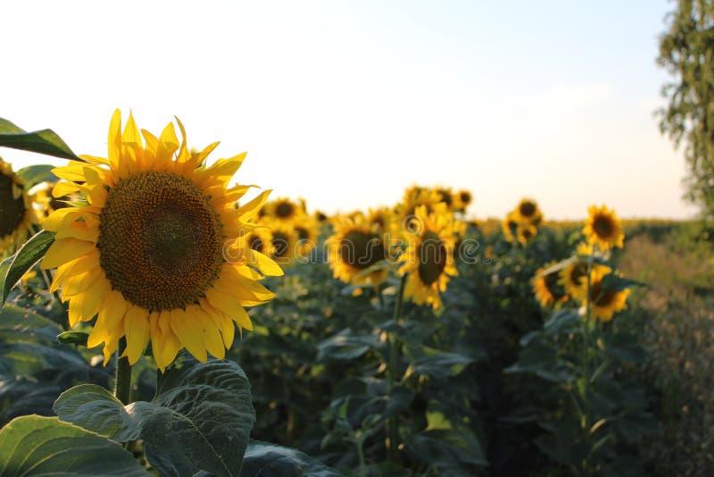 Ljusa gula blommor av solrosor royaltyfri bild