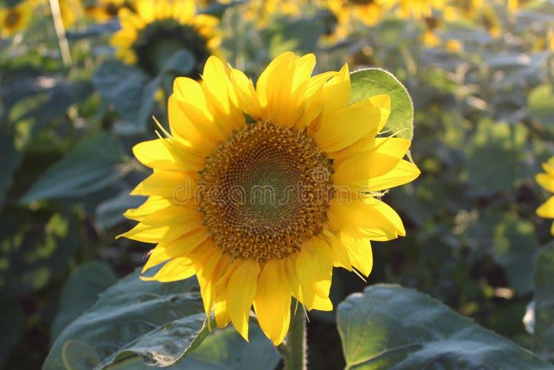 Ljusa gula blommor av solrosor arkivfoton