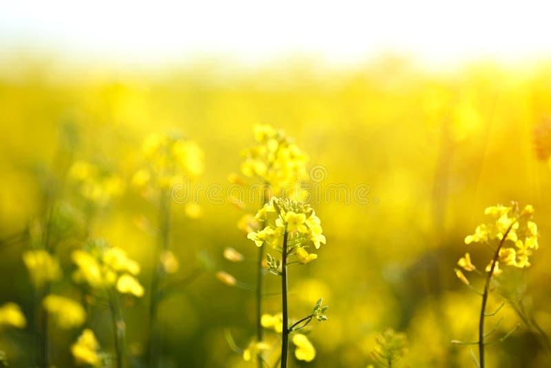Ljusa gula blommor på ett fält av att blomma canola fotografering för bildbyråer
