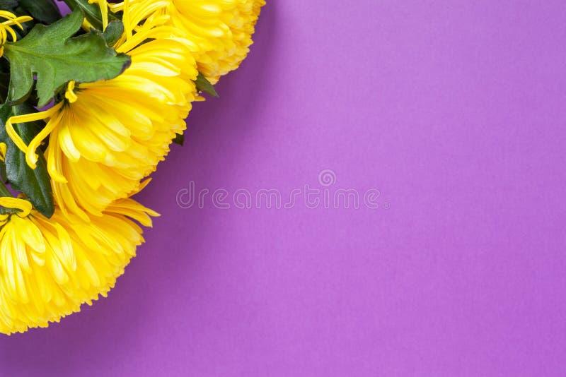 Ljusa gula krysantemum på purpurfärgad bakgrund Lekmanna- lägenhet horisontal Modell med kopieringsutrymme för hälsningkort arkivbilder