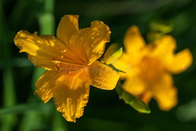 Ljusa gula liljablommor med daggvatten tappar under den ljusa vårsolen makroskott för selektiv fokus med grund DOF arkivfoto