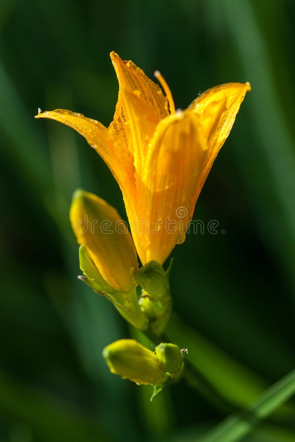 Ljusa gula liljablommor med daggvatten tappar under den ljusa vårsolen makroskott för selektiv fokus med grund DOF royaltyfri bild