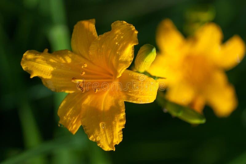 Ljusa gula liljablommor med daggvatten tappar under den ljusa vårsolen makroskott för selektiv fokus med grund DOF arkivfoton