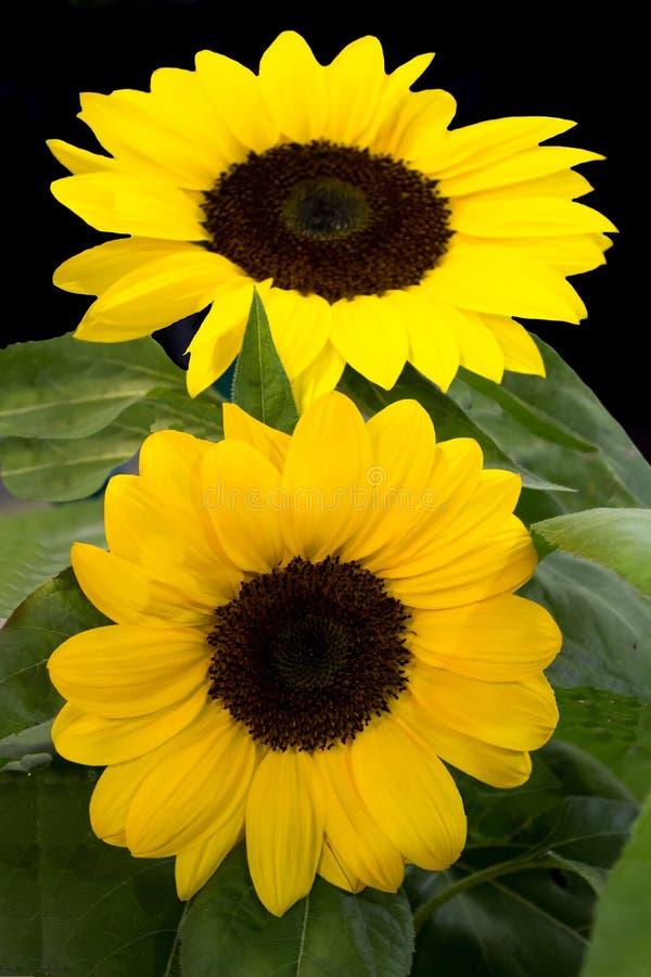 Ljusa gula solrosor för par med grön lövverk royaltyfri fotografi