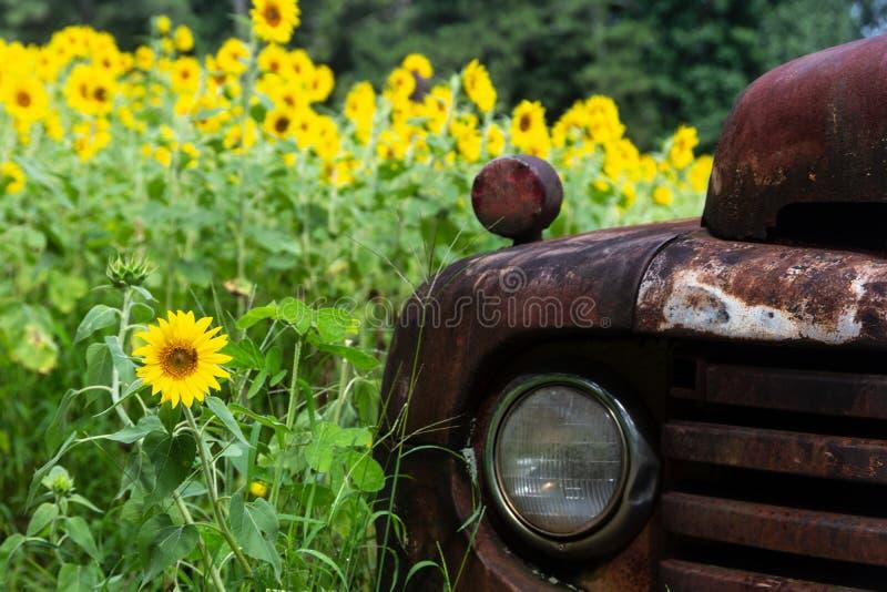 Ljusa gula solrosor som omger en rostig antik lastbil royaltyfri bild