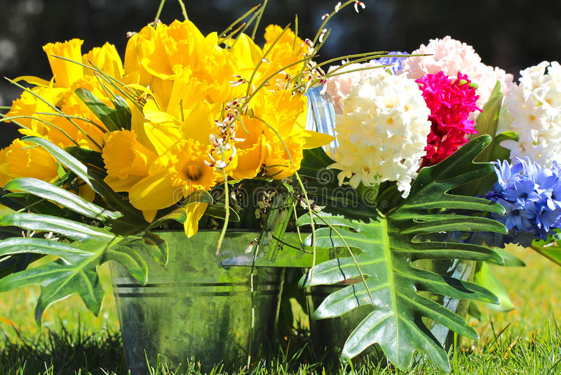 Ljusa gula vårpåskliljor och hyacinter i hinken fotografering för bildbyråer