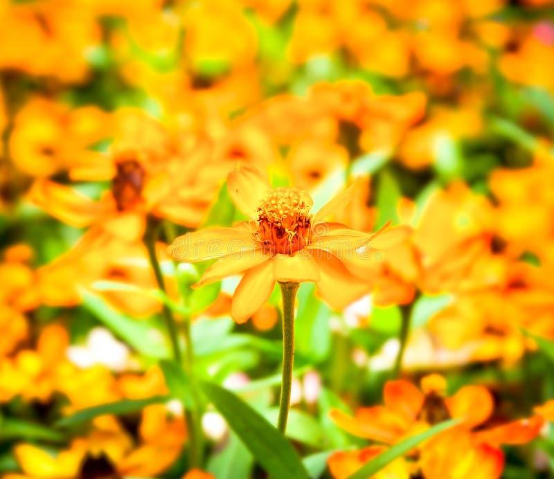 Ljusa gula zinniagräsplansidor Selektivt fokusera royaltyfri fotografi