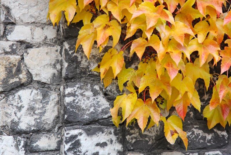 Ljusa guling- och apelsinmurgrönasidor på en gammal stenvägg höstbakgrundscloseupen colors orange red för murgrönaleaf royaltyfri fotografi