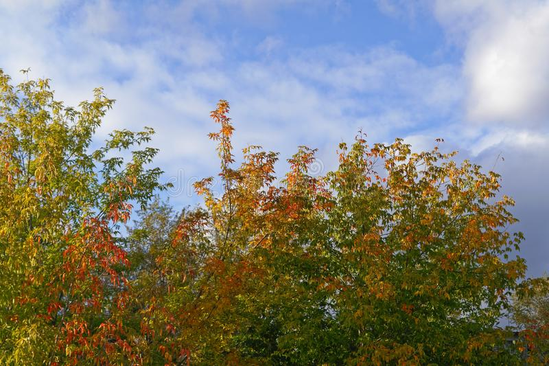 Ljusa höstsidor på blasten av träd mot blå himmel- och vitmolnen royaltyfria foton