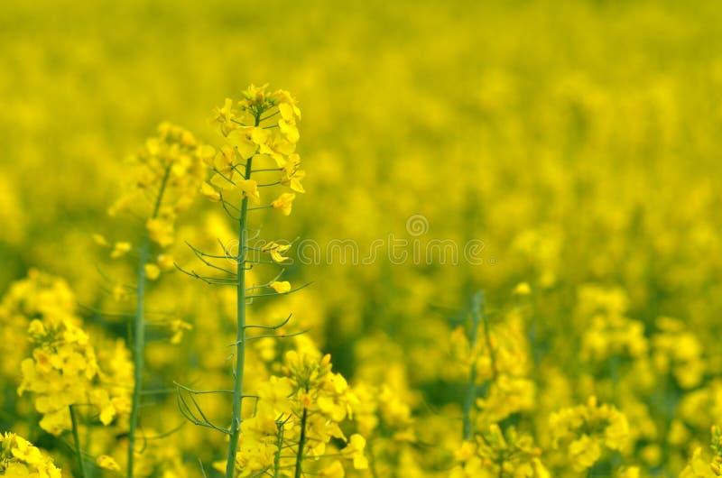 ljusa kontrast för rapeseedfjäder för fält gröna trees yellow royaltyfri fotografi
