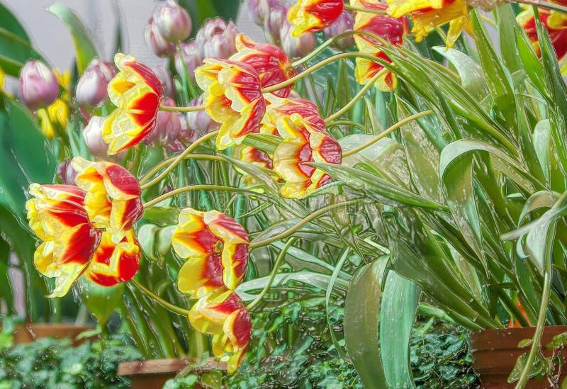 Ljusa kulöra tulpan, målningeffekt fotografering för bildbyråer