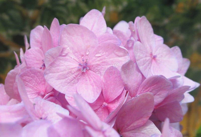 Ljusa nätta rosa vanlig hortensiablommor för Closeup i sommar 2019 royaltyfri fotografi