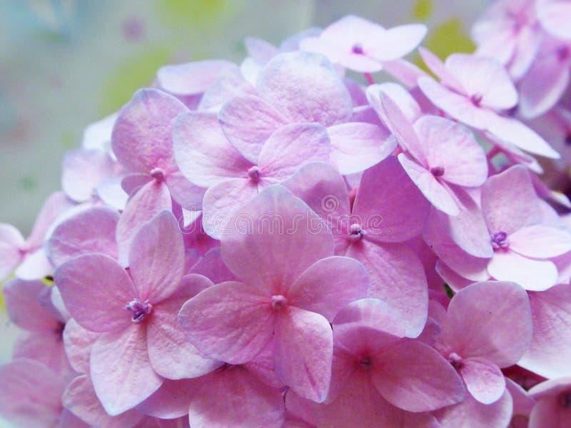 Ljusa nätta rosa vanlig hortensiablommor för Closeup i sommar 2019 arkivbild