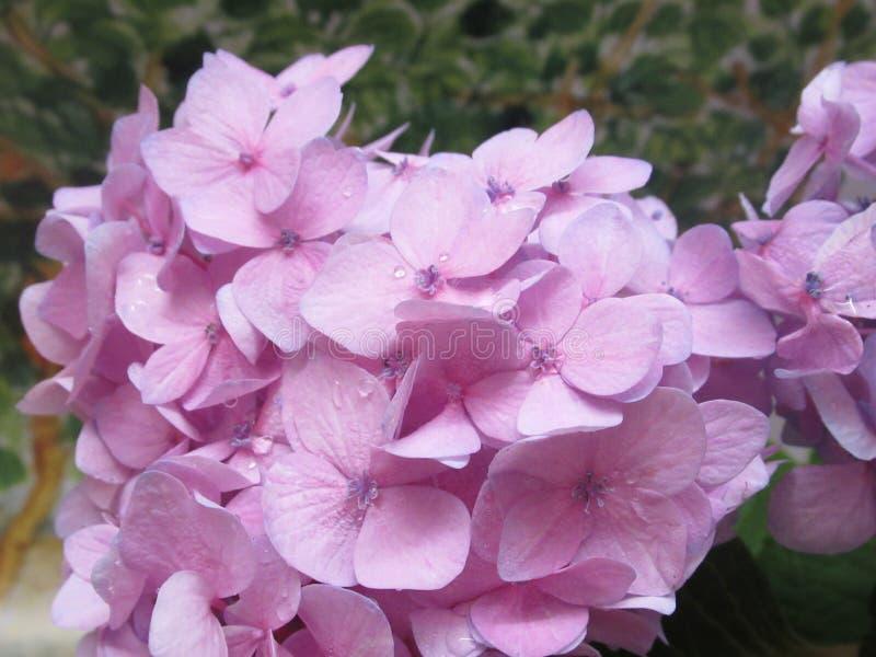 Ljusa nätta rosa vanlig hortensiablommor för Closeup i sommar 2019 royaltyfria foton