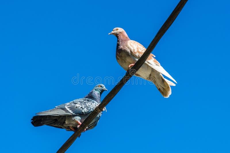Ljusa och gråa duvor sitter högt på trådar för en gata mot en blå klar himmel Stäng upp av ensamma två stads- duvor som sitter öv royaltyfri fotografi