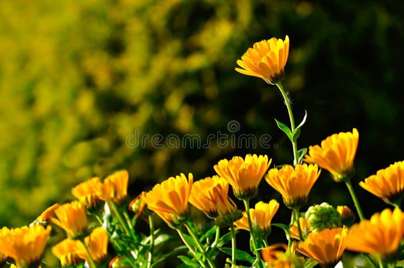 Ljusa orange blommor av calendulalten vid varmt solljus royaltyfria bilder