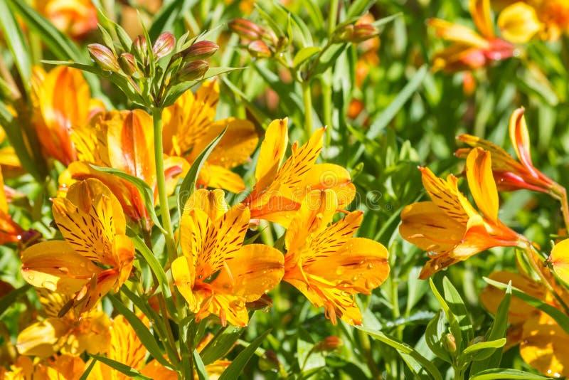 Ljusa orange blommor för peruansk lilja i blom som växer i trädgård arkivfoto