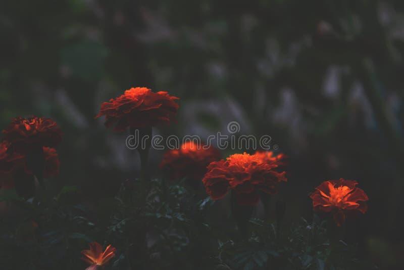 Ljusa orange blommor kontrasterar med en mörk bakgrund i aftonen Tagetes i skuggan, abstrakt dramatiskt uttrycka för stil arkivfoto