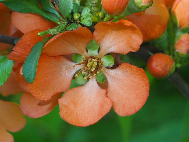 Ljusa orange blommor p? gr?n bakgrund royaltyfria foton