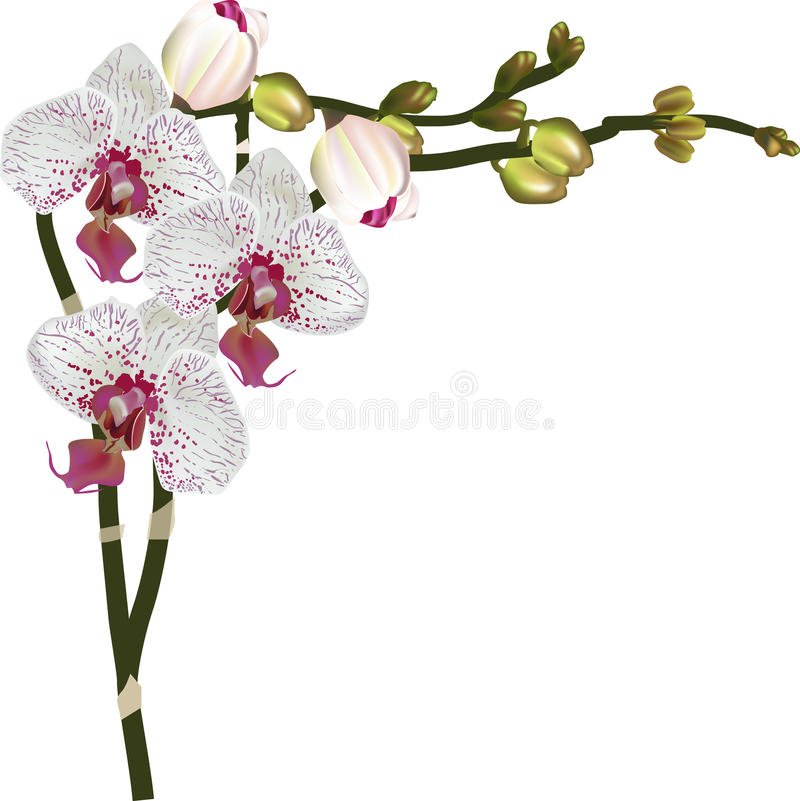 Ljusa orkidér med mörka rosa fläckar vektor illustrationer