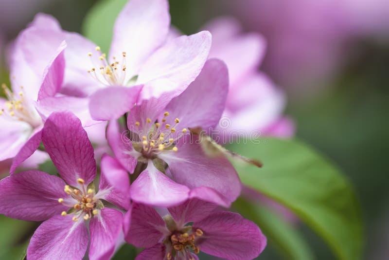 Ljusa pittoreska vårblommor av äpplet, körsbärsröd närbild Filial av rosa sakura, blommande fruktvårträd royaltyfri foto
