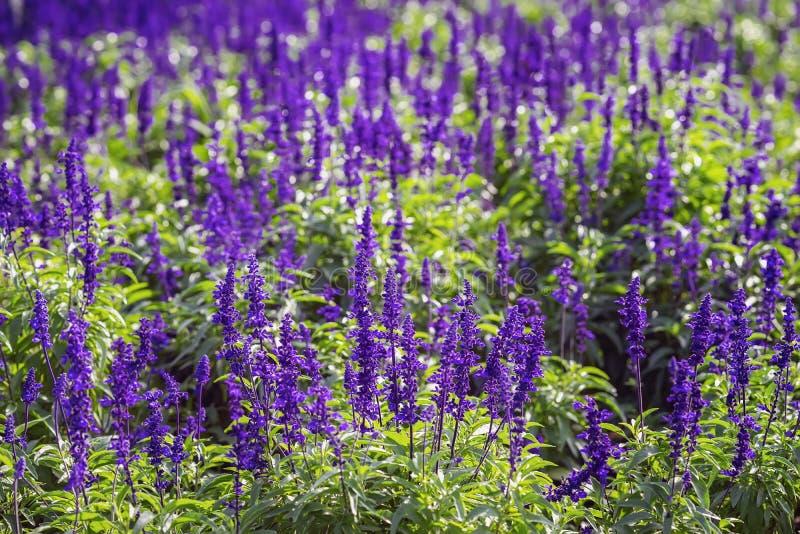 Ljusa purpurfärgade blommor som lavendel i en gatablomsterrabatt på en solig dag för sommar Naturlig pittoresk f?rgrik bakgrund arkivbild