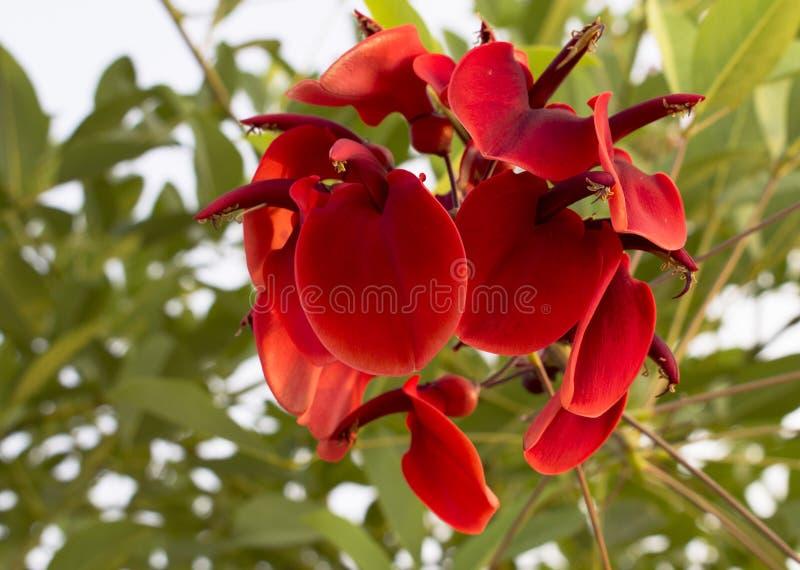 Ljusa röda blommor av den Erythrina cristaen-galli eller cockspurkorallträdet Nationell blomma av Argentina och Uruguay Makro bok royaltyfri bild
