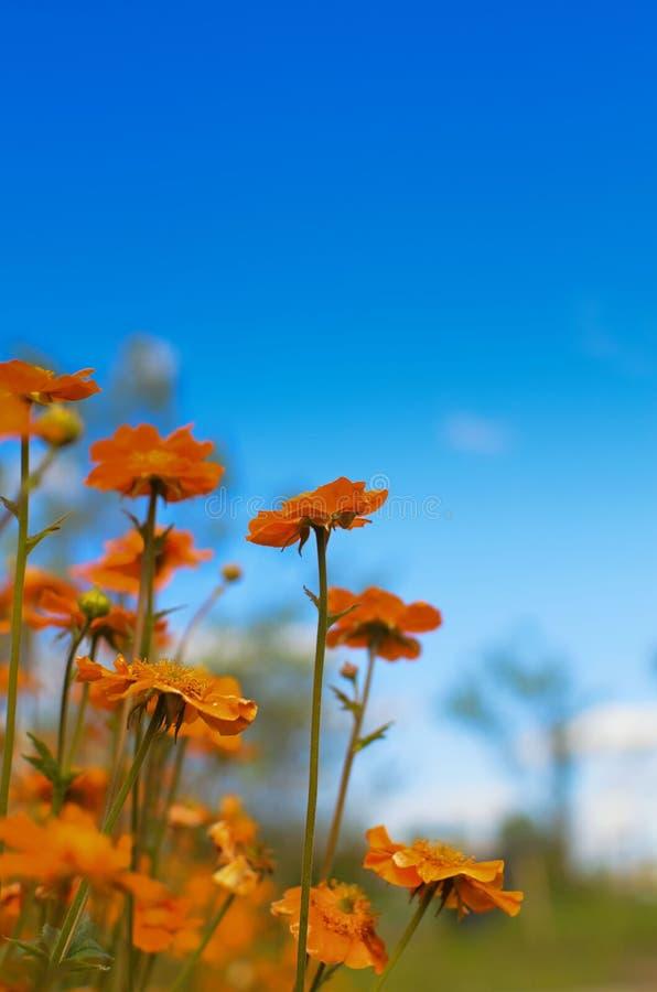 Ljusa röda blommor av Geumcoccineumen Borisii mot himlen royaltyfri bild