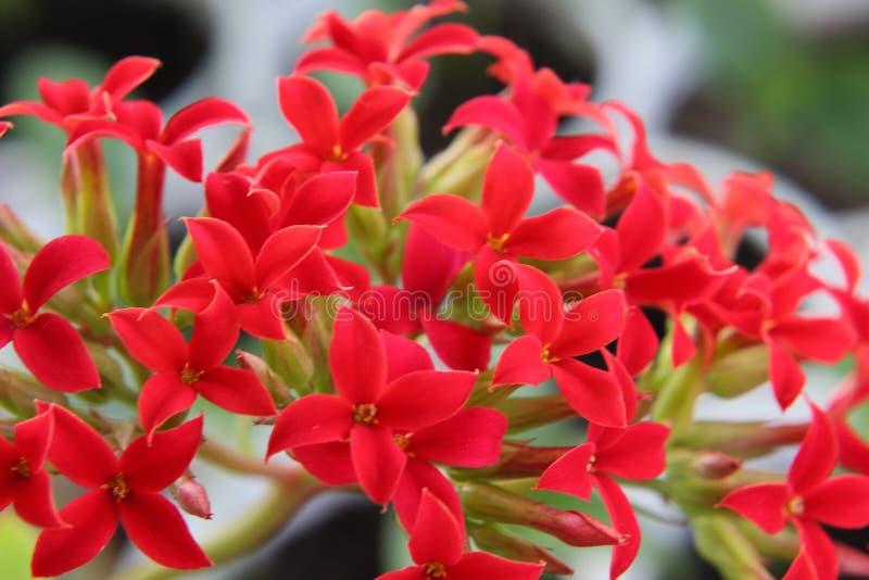 Ljusa röda korsformiga blommor i den Kalanchoe inflorescencen arkivfoton