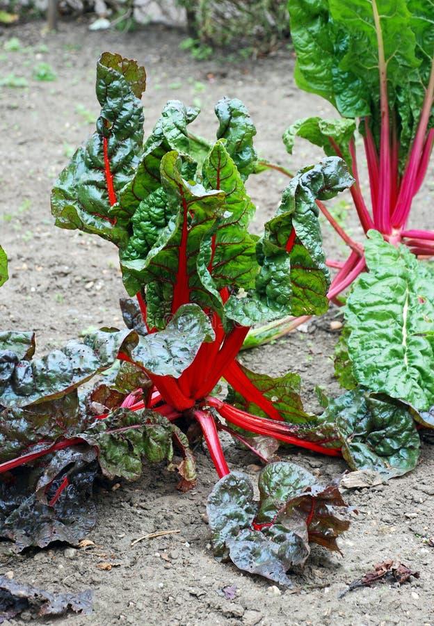 Ljusa röda och gröna rabarberväxter arkivbild