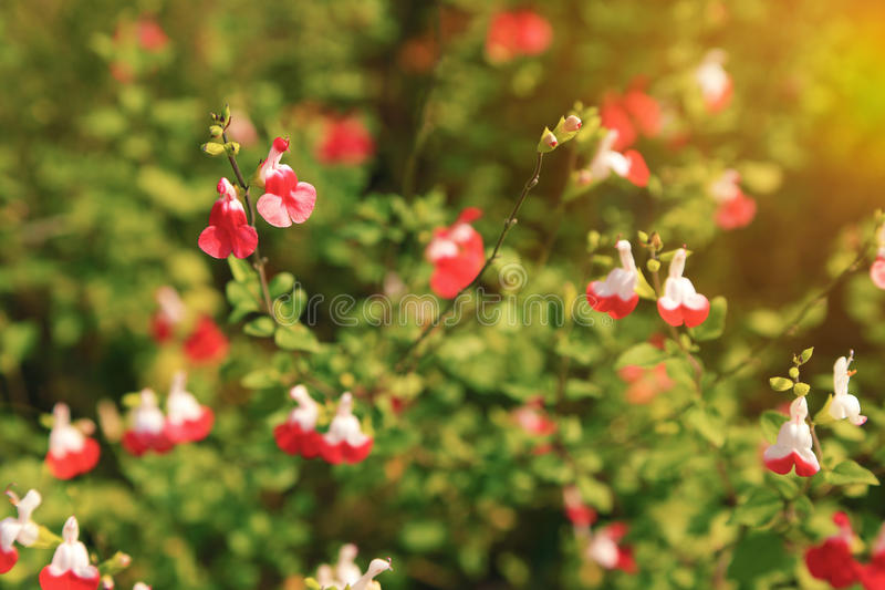 Ljusa röda och vita blommor av kult för kanter för Salvia microphylla varm royaltyfri bild