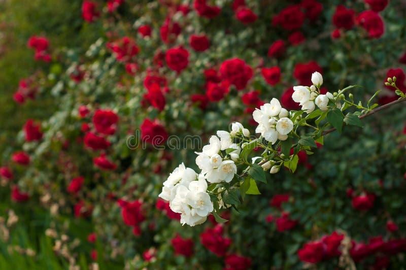 Ljusa röda rosor med knoppar på en bakgrund av en grön buske efter regn Härliga röda rosor i sommarträdgården royaltyfri foto
