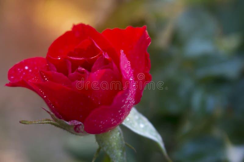 Ljusa röda rosor med vattendropp- och morgonsolen arkivfoton