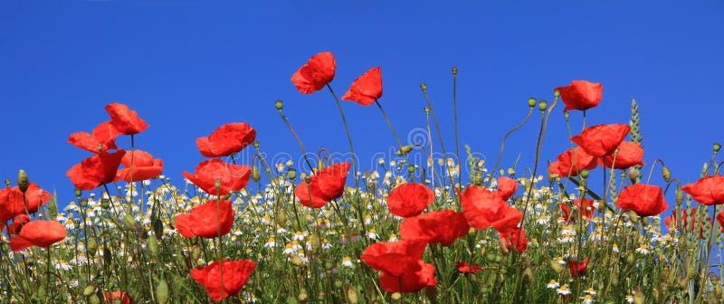 Ljusa röda vallmoblommor och prästkragar mot blå himmel royaltyfria bilder