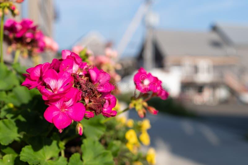 Ljusa rosa blommor i en blommaask på Belfast Maine royaltyfri bild